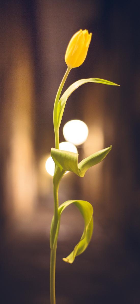 郁金香 鲜花 一枝独秀 枝叶