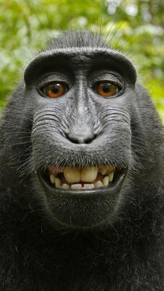黑冠猕猴 黑猴 猴子 哺乳 牙齿
