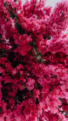 勒杜鹃 三角梅 鲜花 枚红色 鲜艳 盛开