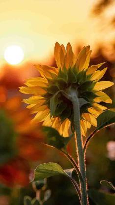 鲜花 向日葵 向阳 太阳花