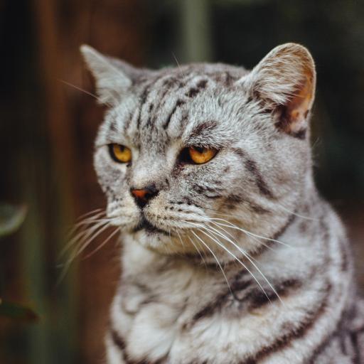 猫咪 眼神 宠物 严肃 宠物