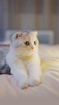 宠物猫 喵星人 异瞳 白色