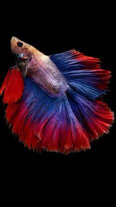 斗鱼 观赏鱼 热带鱼 尾巴