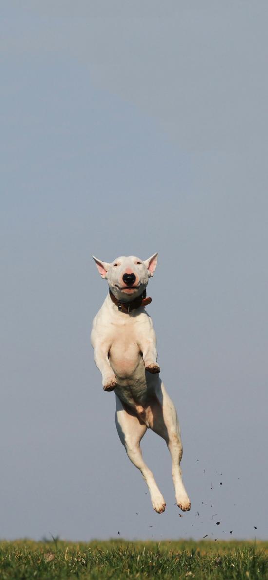 牛头梗 欢乐 跳跃 狗 犬 汪星人 宠物