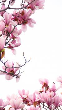 玉兰花 春意 花朵
