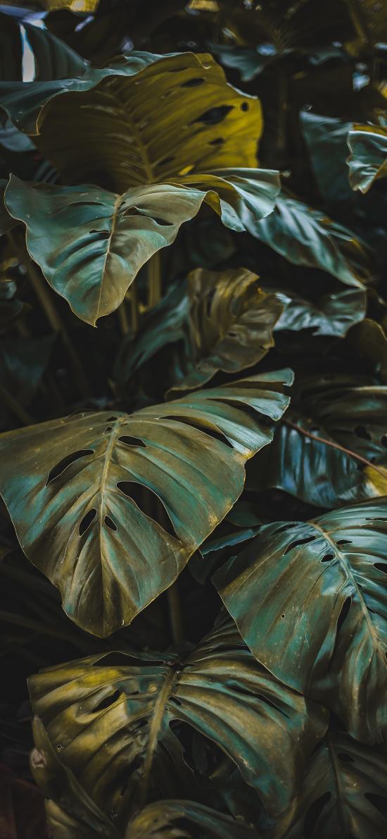绿植 枝叶 观赏性 大叶