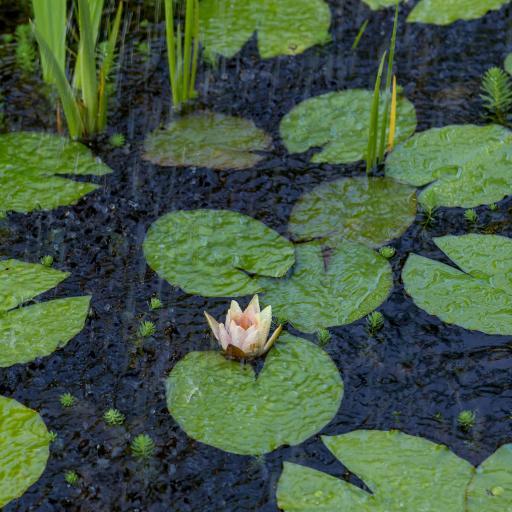 池塘 荷花 绽放 雨水