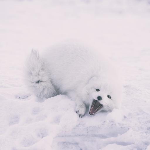 雪狐 狐狸 白狐 雪地 寒冷
