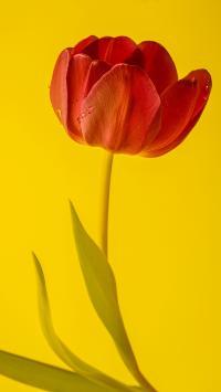 郁金香 鲜花 水珠
