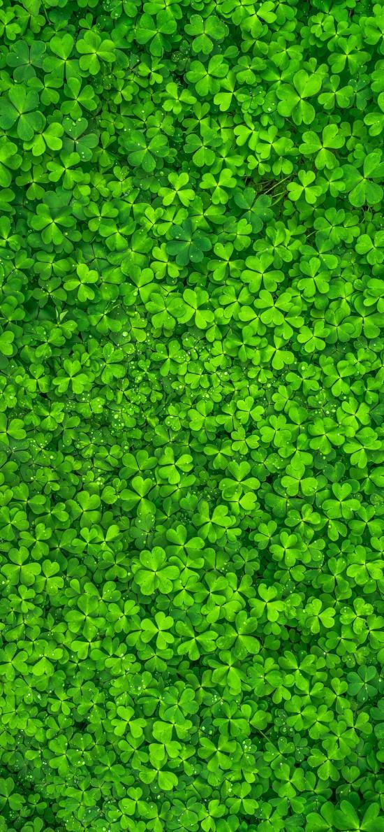 三叶草 绿色 水珠 密集
