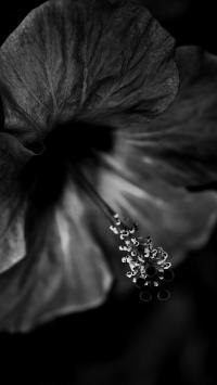 鲜花 绽放 花蕊 黑白