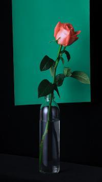玫瑰花 鲜花 玻璃瓶