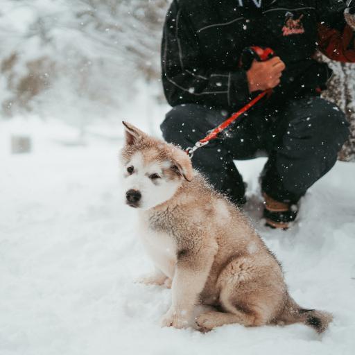 雪地 雪橇犬 幼崽 可爱