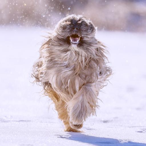 雪地 狮子狗 奔跑 汪星人