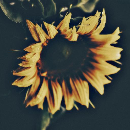鲜花 向日葵 大花盘