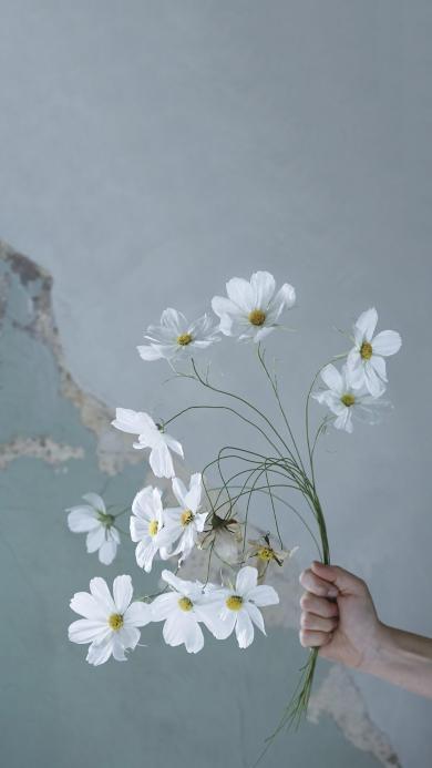 波斯菊 鲜花 盛开 手