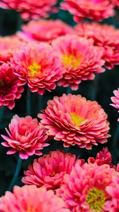 非洲菊 鲜花 密集 花圃