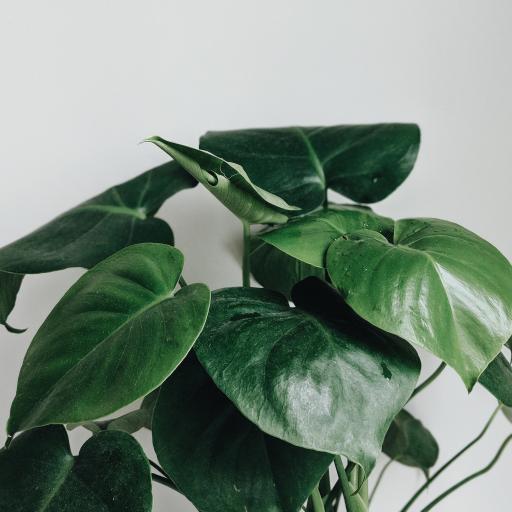 喜林芋 绿植 欧洲 观赏性