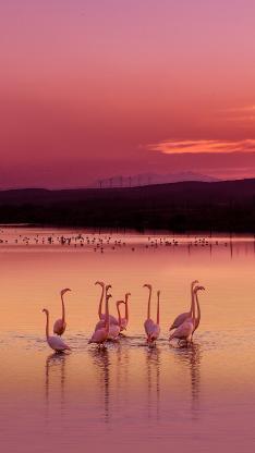 火烈鸟 水面 倒影 黄昏 夕阳 唯美