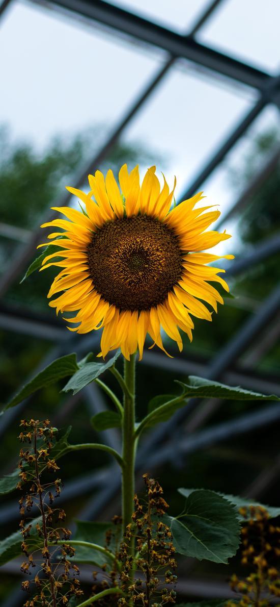 鲜花 向日葵 向阳花