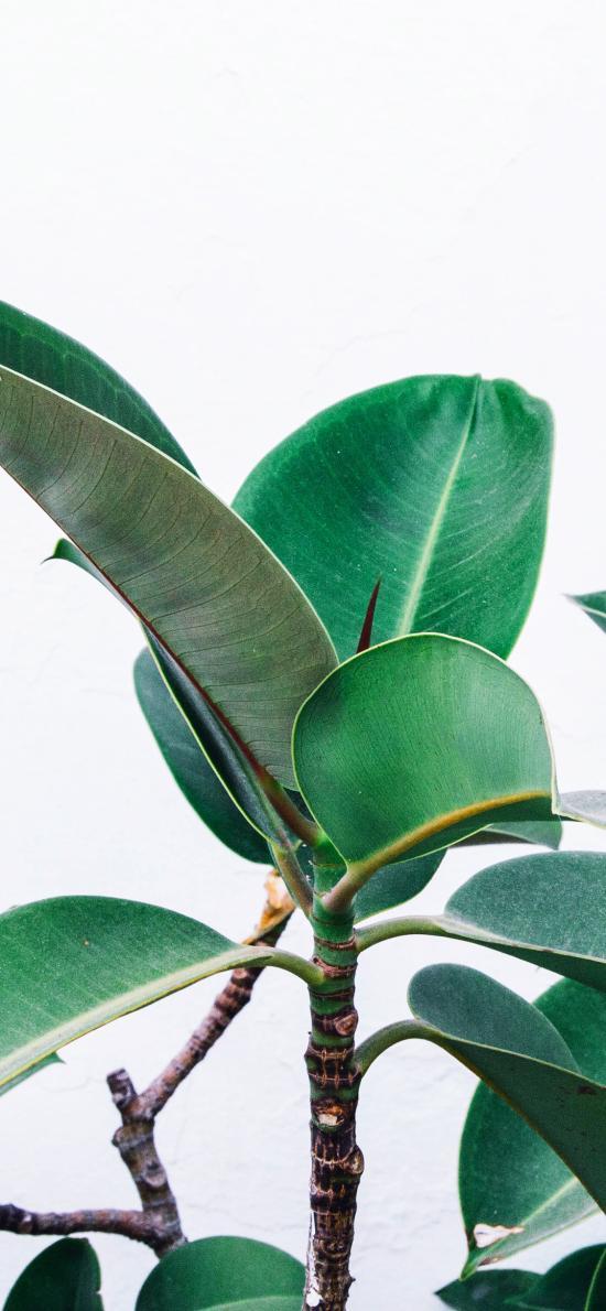 大葉赤榕 觀賞性 綠植