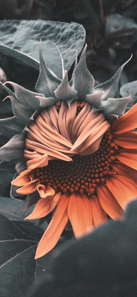 鲜花 向日葵 枝叶 含苞待放