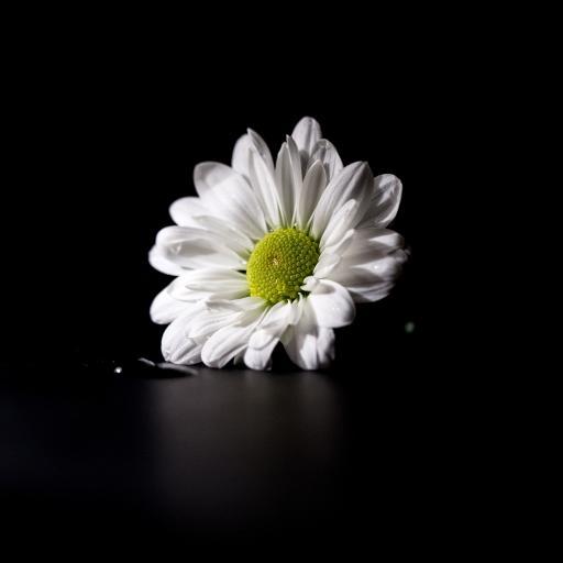 特写 雏菊 鲜花 小花 暗黑