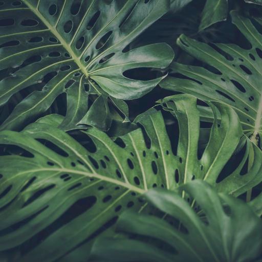 龟背竹 绿色 叶子