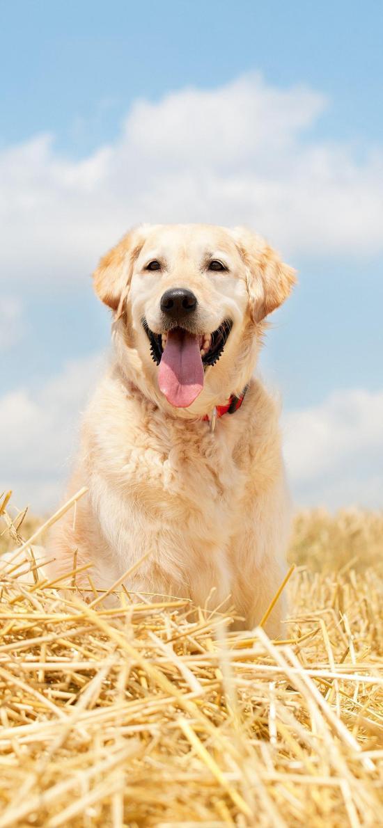 草地 宠物狗 金毛犬 可爱