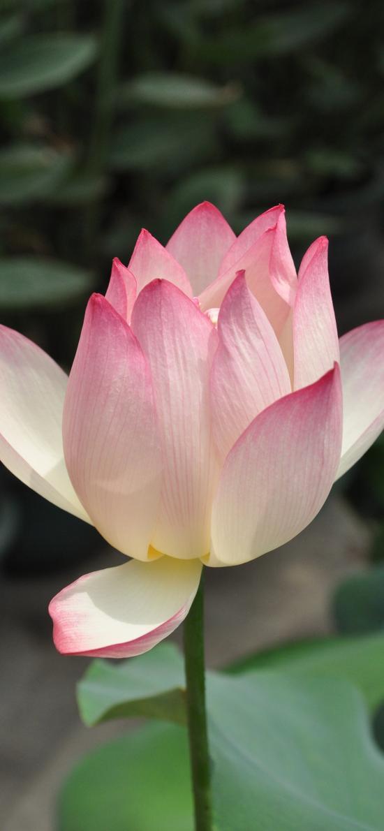 荷花 鲜花 盛开 荷塘