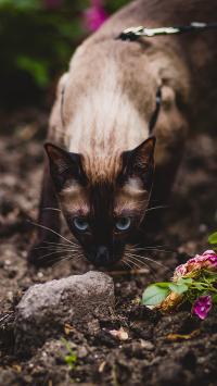 猫咪 暹罗 宠物 户外