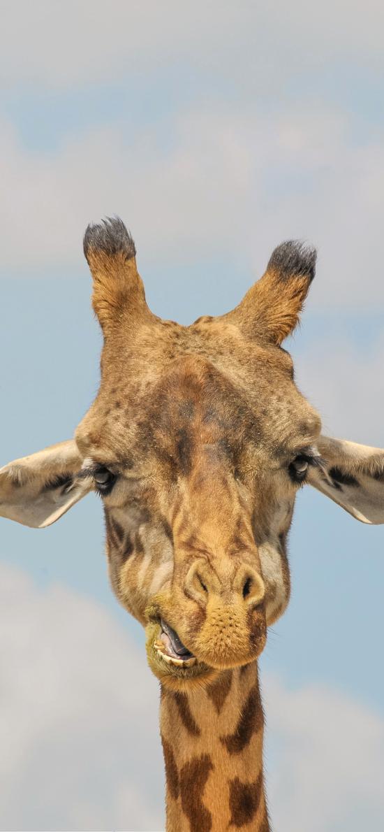 长颈鹿 可爱 萌 斑纹 纹路