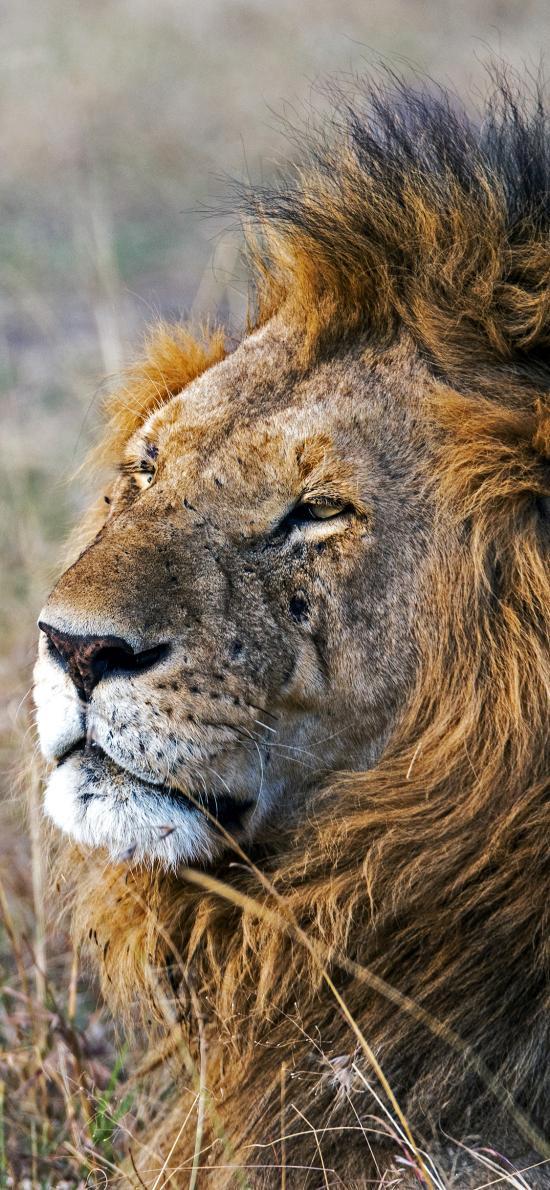 狮子 野外 忧郁 猛兽