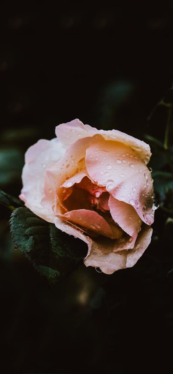 鲜花 粉色 绽放 露珠