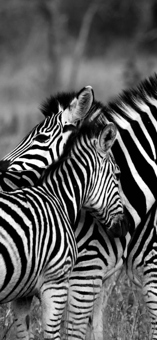 斑马 黑白 条纹 野生 种群