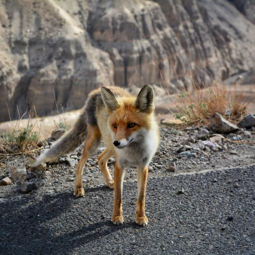 狐狸 狡猾 皮毛 路面