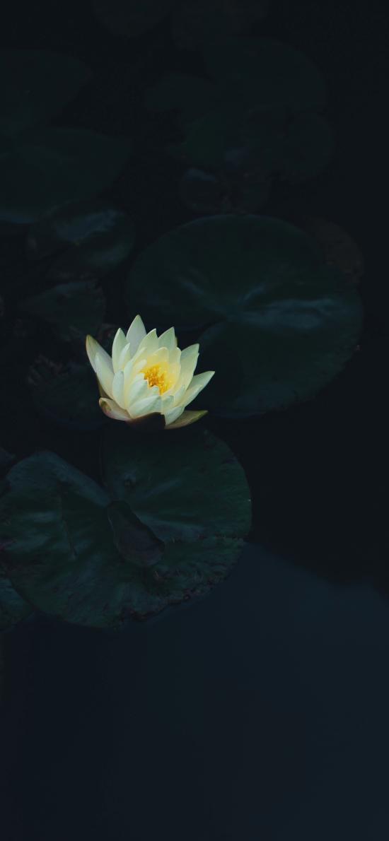 睡莲 莲花 荷叶 荷塘 黑暗