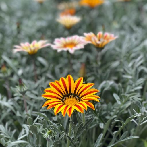 菊花 绿植 遍地 草丛