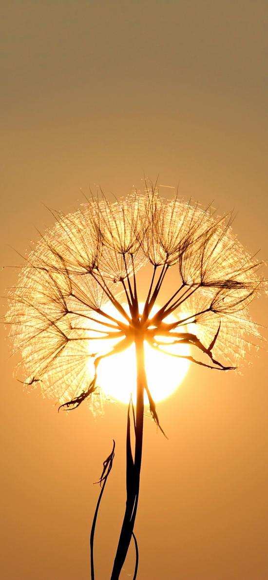 蒲公英 枝干 阳光 黄昏