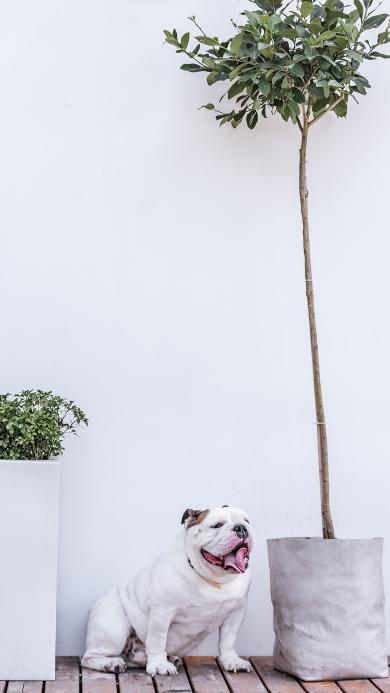 树木 宠物狗 英国 斗牛犬