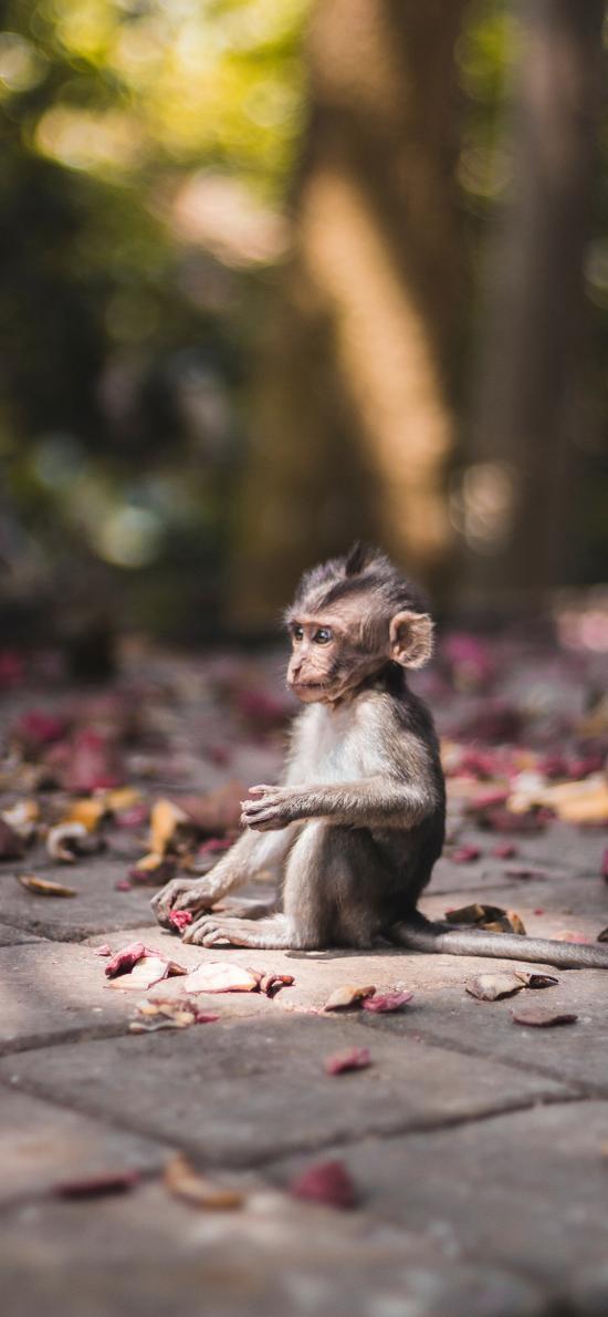 猴子 坐立 乖巧 落花