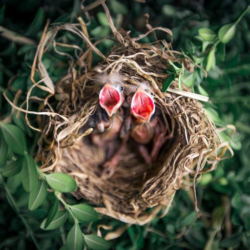 树枝 鸟窝 雏鸟 嗷嗷待哺