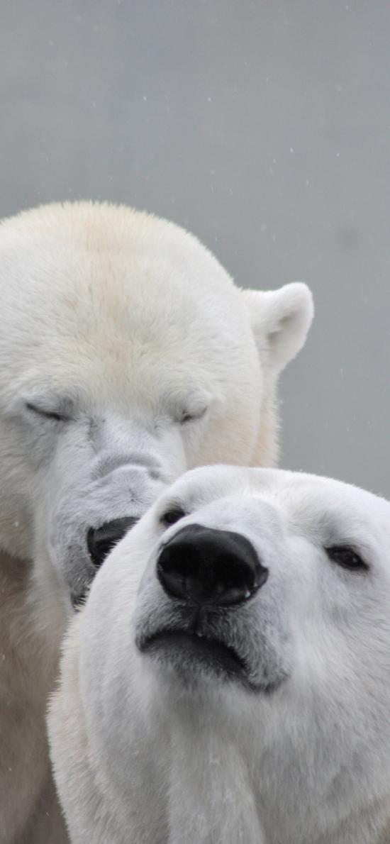 北极熊 白色 亲密
