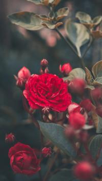 鲜花 花苞 盛开 枝叶