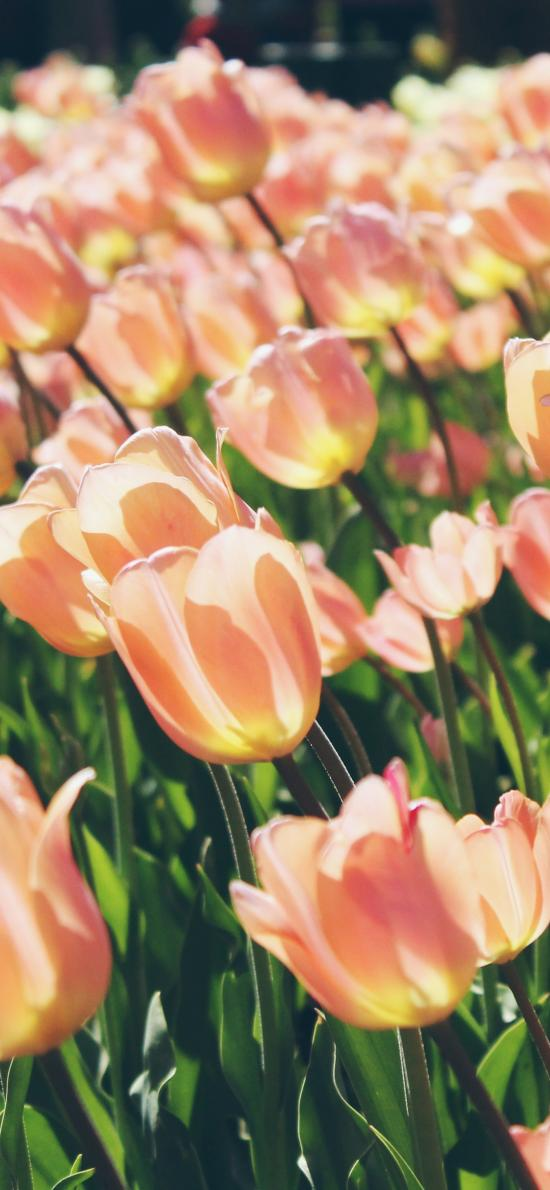 郁金香 鲜花 枝叶 盛开 花海