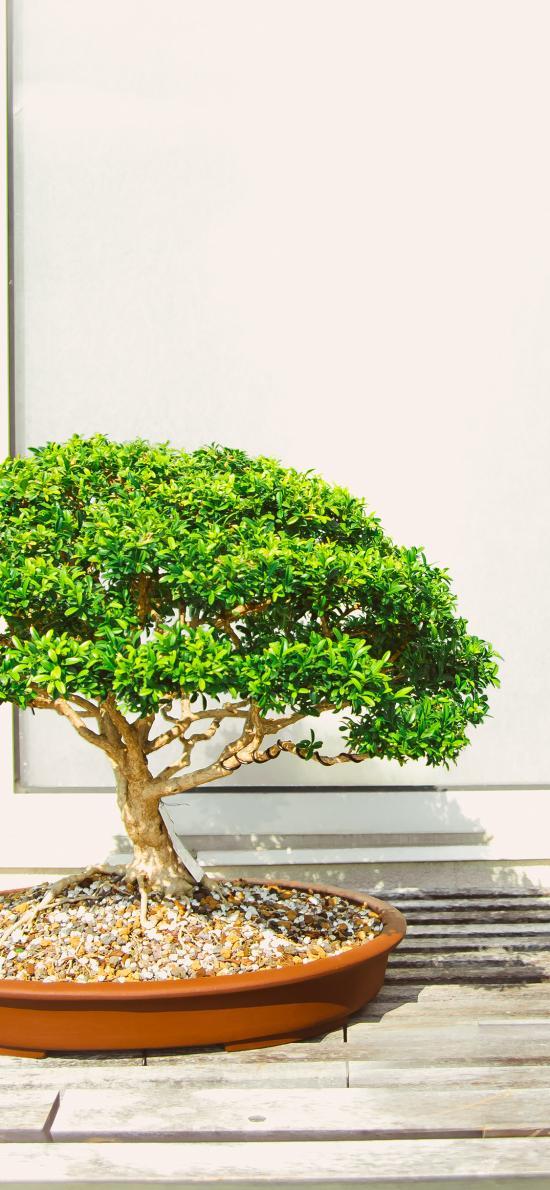 绿植 迎客松 松树 嫁接 移植