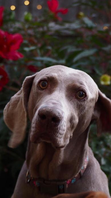宠物狗 威玛猎犬 德国犬