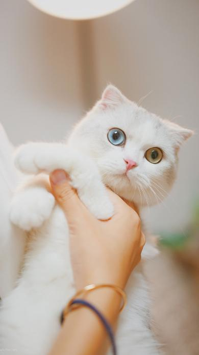 猫咪 白色 异瞳 喵星人 可爱 宠物