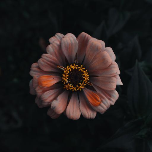 鲜花 花朵 盛开 菊花