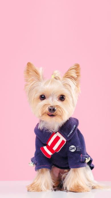 宠物狗 约克夏梗 玩赏犬